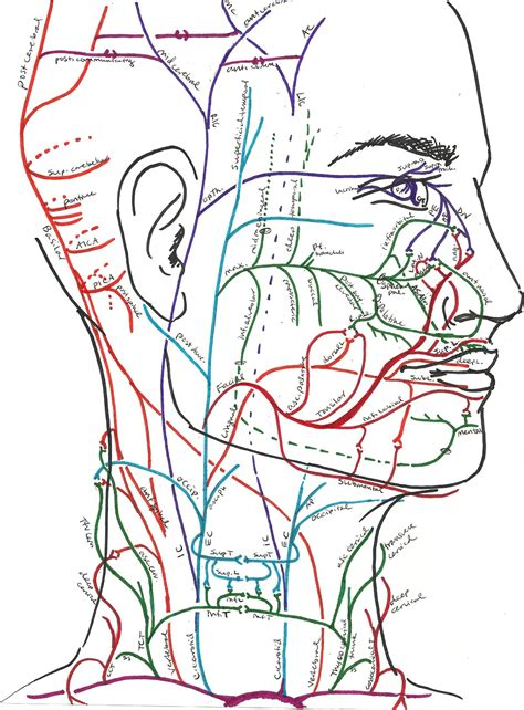arteries in the neck diagram neck diagram of muscles arteries and skeleton diagram site