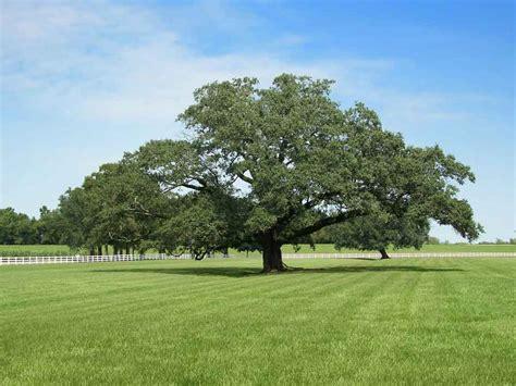 fiori di bach oak oak il mio incontro con la quercia benesserecorpomente it