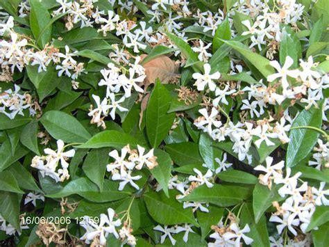 fiori di gelsomino file gelsomino fiori 010010001 png