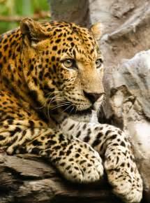 Jaguar Cat Wiki File Panthera Pardus Up Jpg