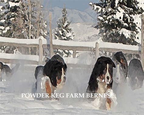 bernese mountain utah home page powder keg farm bernese