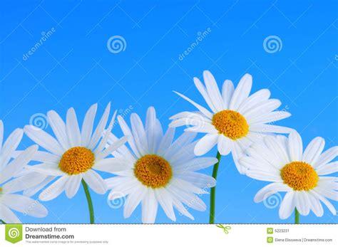 4 flores azules para jard flores de la margarita en fondo azul imagen de archivo