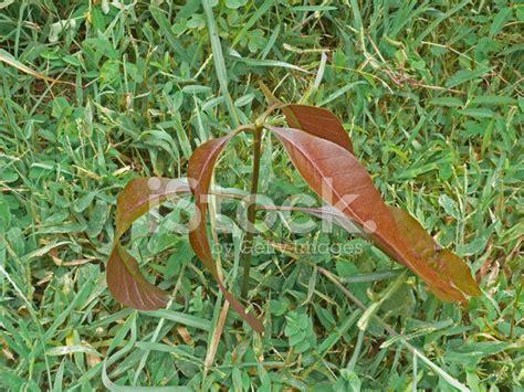 pianta di mango in vaso piante di mango mango il frutto fa ingrassare verit o