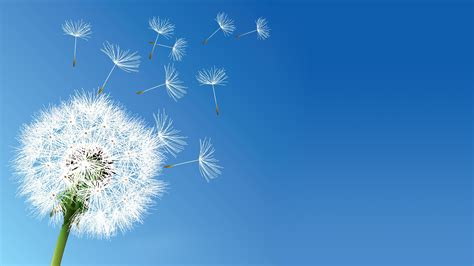 flowers sky nature light plant bloom hd wallpapers nature flowers dandelion clear sky wallpapers hd