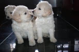 Goldendoodle puppies f1 maldon essex pets4homes