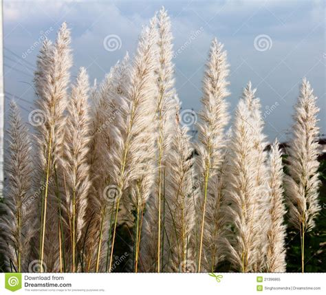 white natural feather like plant stock image image of