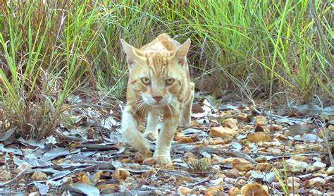 the feral irishman world s most secure house a zombie bunker australian feral cats wreak the most damage to species