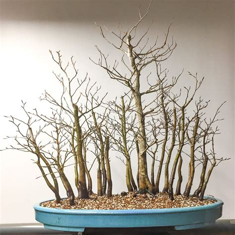 here s a thought bonsai cleaning up a japanese beech forest bonsai tonight