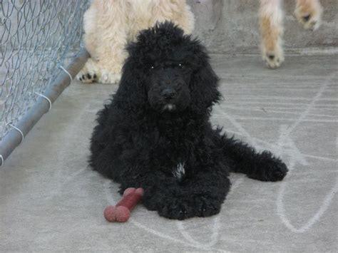 golden retriever puppies greensboro nc standard poodle breeders greensboro nc photo