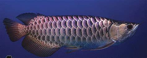 Anakan Ikan Arwana Gold ikan hias arwana arwana golden