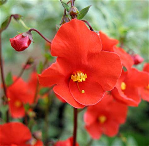 Masker Komedo Uh Mask Flower alonsoa meridionalis buy at s annuals