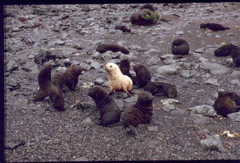 Panoramio - Photo of Albino seal, Bird Island