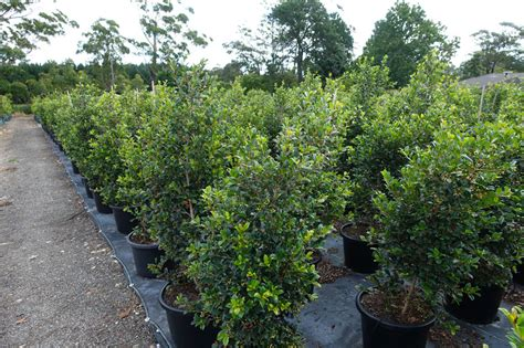 syzygium backyard bliss syzygium backyard bliss 40cm 400mm