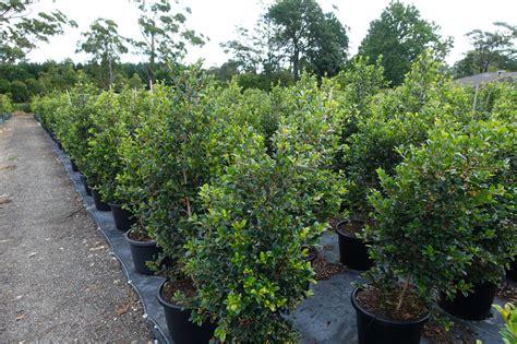 Syzygium Backyard Bliss by Syzygium Backyard Bliss 40cm 400mm
