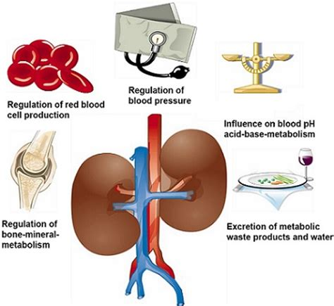 Purpose Of The Kidneys And Detox by Top 8 Kidney Cleansing Foods To Enhance Kidney Function