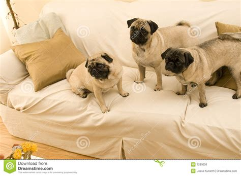 three pugs three pugs hanging out royalty free stock image image 7280026