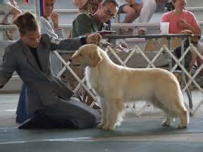 retired show dogs for adoption golden retriever our dogs legend golden retrievers akc breeder of merit michigan home of many best