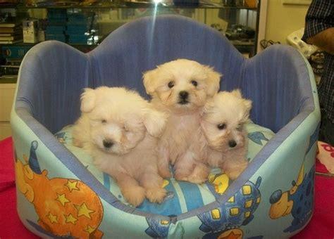 vendita cobasso regalo cuccioli maltese regalo cuccioli di maltese