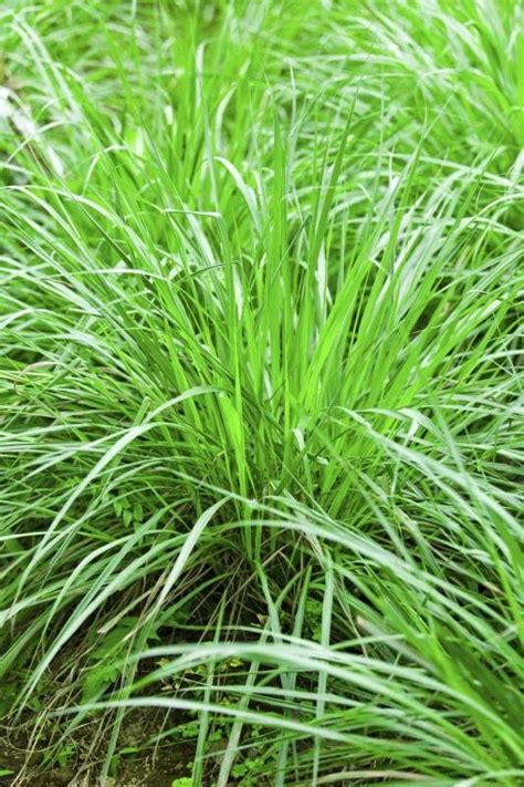 does lemon grass repel mosquitoes cooking words and mosquitoes