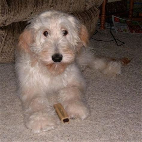 goldendoodle puppy chewing goldendoodle breed pictures 7