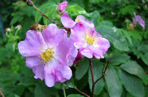 state flower of iowa larry s photo a day iowa s state flower