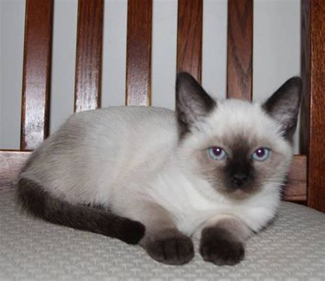 ragdoll mix beautiful ragamese rag doll siamese mix kittens