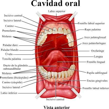 vestibulo y cavidad bucal anatom 237 a de la boca la lengua las enc 237 as dientes el