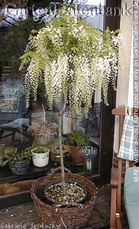 japanischer garten clingendael pin bild blauregen wisteria japanischer garten clingendael