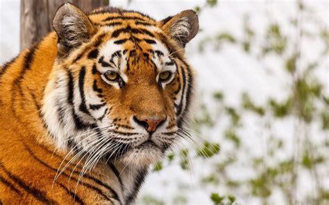 imagenes 4k tigre tigre full hd fondo de pantalla and fondo de escritorio