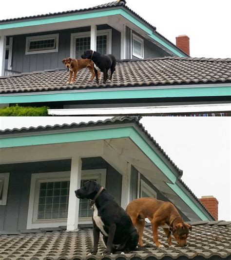 roof dog cute dogs part 79 50 pics amazing creatures