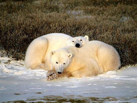 Bears White my style animal white desktop wallpapers