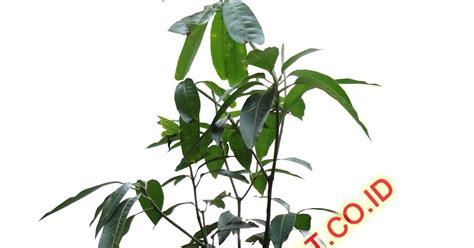 Tanaman Dukong Duku Malaysia 50cm jual bibit tanaman buah produk