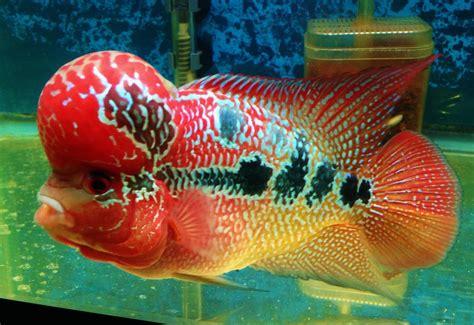 Ikan Louhan Synpilum Vieja Kamfa