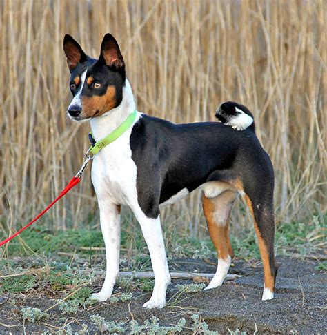 basenji puppies price basenji facts pictures price and breeds