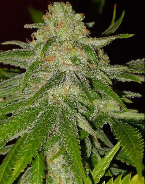 lade cannabis actual c99 cinderella actual seeds seedfinder