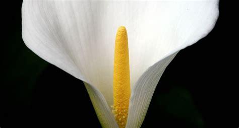 linguaggio dei fiori calla la calla linguaggio dei fiori la calla un fiore dai