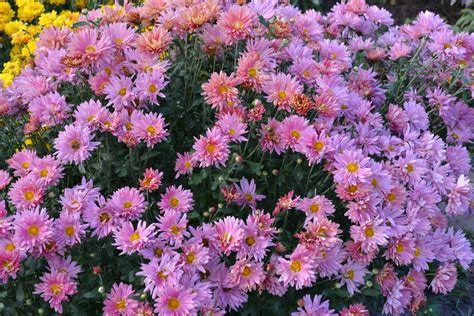 chrysanthemum colors sale 22 colors available chrysanthemum seeds