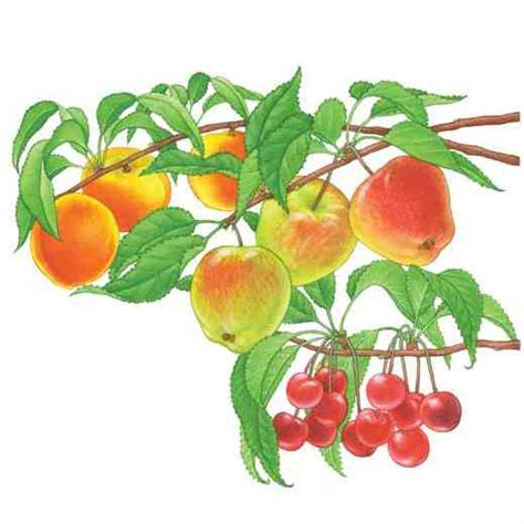 what is the fruit of the tree of there are many types of fruit trees and with a