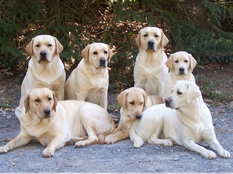 black lab golden retriever puppies what heaven it would be to be with all of these
