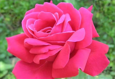 gambar bunga mawar pink indah sigambar