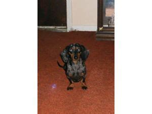 free dachshund puppies in tennessee dachshund puppies for sale arizona