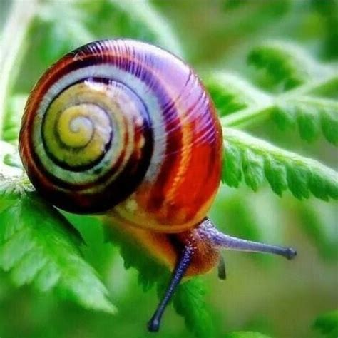 un caracol a snail 8426350941 143 best painted snail caracol pintado de cuba candy cane snail images on snails