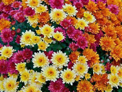 Schnittblumen Im Herbst by Foto Weiss Gelben Rot Purpurnen Und Orangen Garten