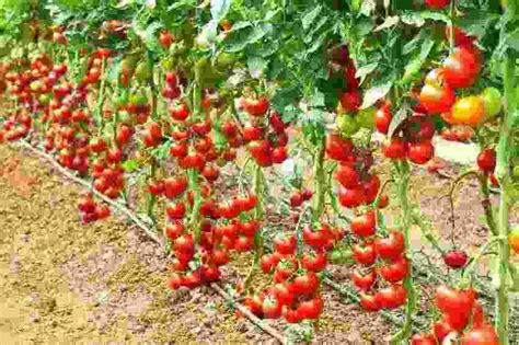 Best Fertilizer For Growing Strawberries   Cromalinsupport