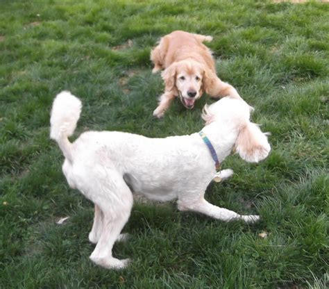golden retriever vs standard poodle standard poodle vs golden retriever page 2 poodle forum standard poodle