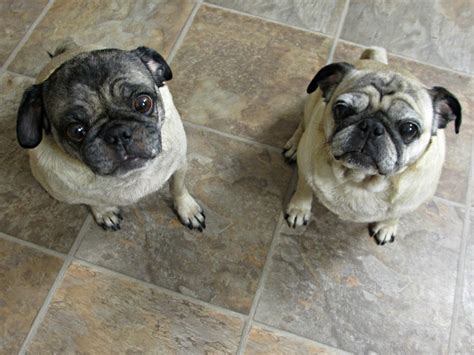 how to care for pugs how i care for my pugs bayerexpertcare emily reviews