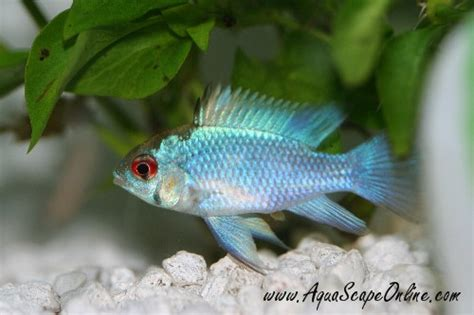 aquascape online difference between blu and german blue rams the planted tank forum