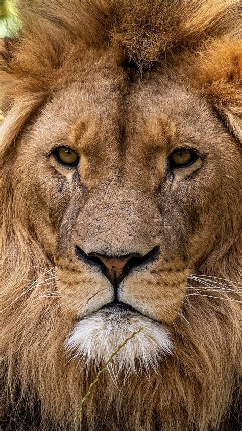 animal lion  hd wallpapers hd wallpapers id