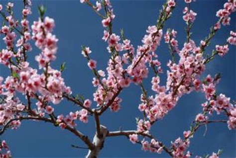 cherry tree mac os x japanese cherry tree facts home guides sf gate