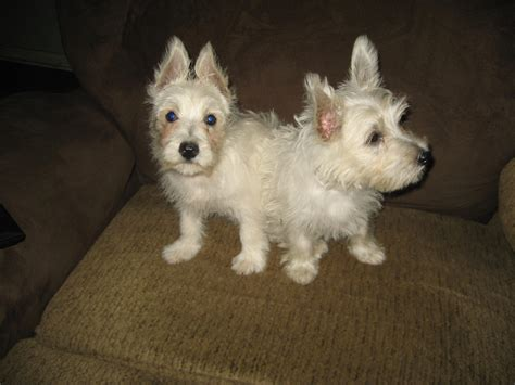 westie puppies for sale in michigan westie breeders